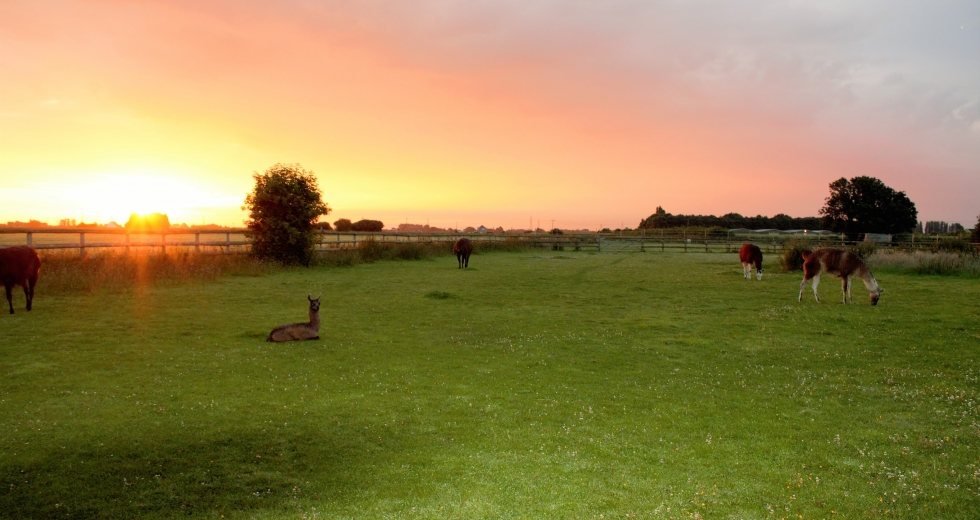 Glamping holidays in Norfolk, Eastern England - Glamping with Llamas
